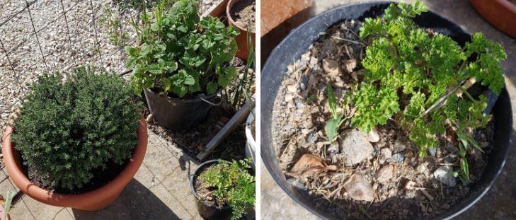 cultiver des plantes aromatiques en jardini re. Black Bedroom Furniture Sets. Home Design Ideas